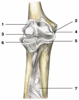 Сустав лучелоктевой сустав лучезапястный сустав правой руки