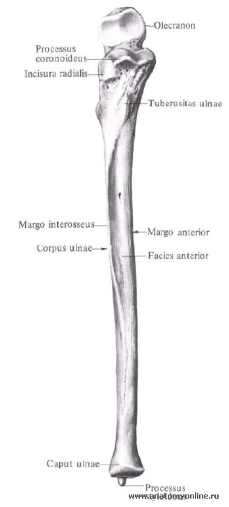 Суставные поверхности локтевая кость сделать ренген коленного сустава в красноярске платно