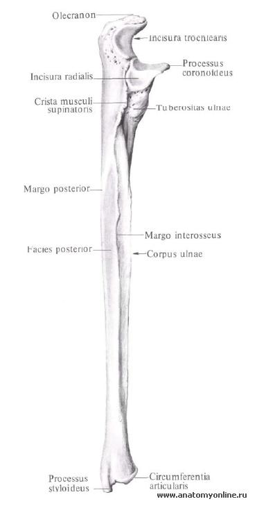 Суставная окружность локтевой кости воспаление тазобедренного сустава у детей последствия
