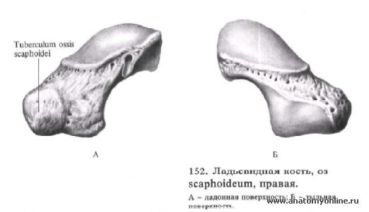 Анатомия мышц тела человека Основные мышцы в картинках с